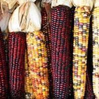 I custodi del mais sfidano le multinazionali: tornano le antiche varietà