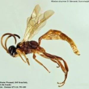 Scoperta  la vespa rara che stupì Darwin