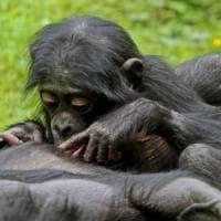 Un gioco svela la capacità di relazione di scimpanzé e gorilla