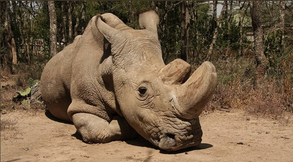 Addio a Sudan, l'ultimo rinoceronte bianco
