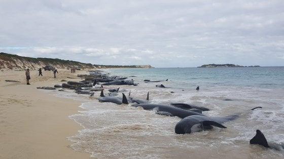 YOUTUBE Australia, strage di balene: 150 cetacei spiaggiati a Hamelin Bay
