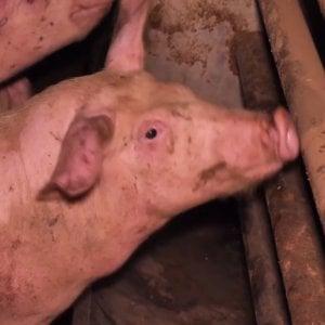 L'inferno dei maiali, i video shock negli allevamenti di prosciutto