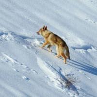 Veneto, lupo o cane? Solo l'esame del Dna ha sciolto il dilemma