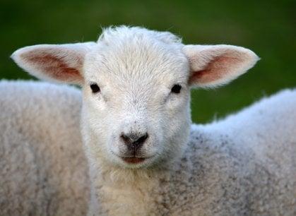 L'agnello morto? Lontano dagli occhi. A Napoli la guerra tra Comune e macellai