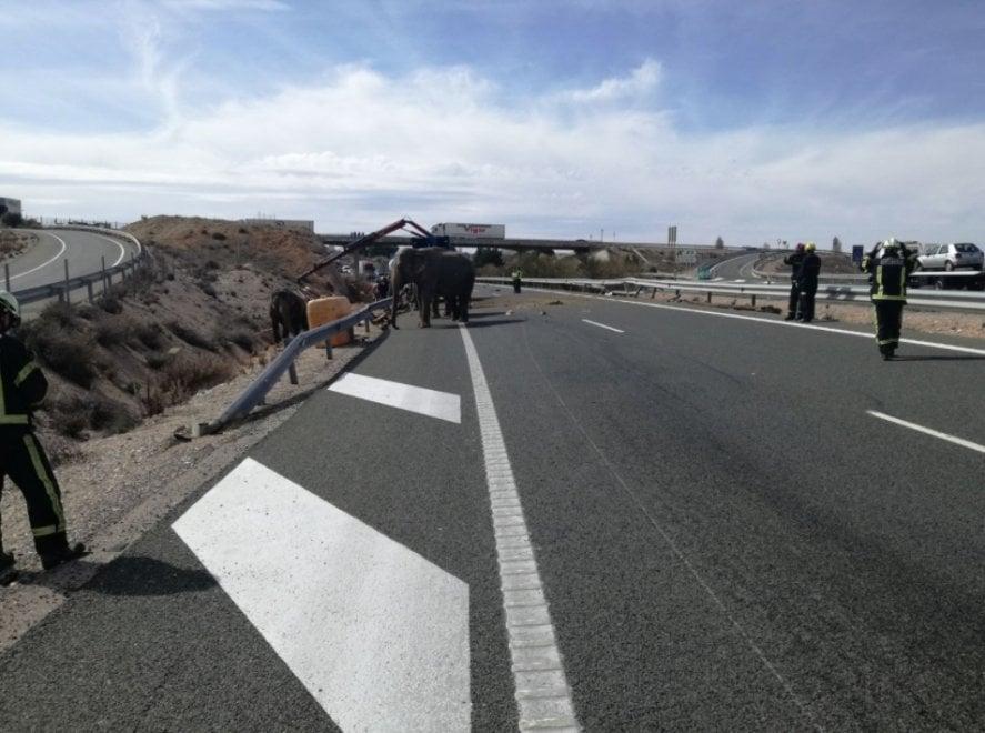 Spagna, incidente in autostrada: dal camion del circo fuggono cinque elefanti