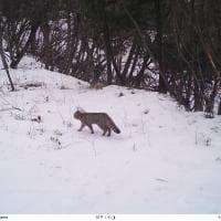 Trentino, spunta il gatto selvatico: la fototrappola