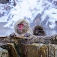 Giappone, anche i macachi si rilassano alle terme.