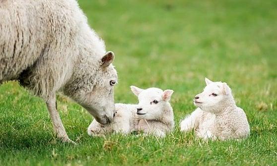 Il sacrificio dell'agnello nel tempo dei vegetariani