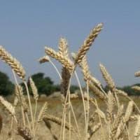 Scoperto il gene che dà la forma alle spighe di grano