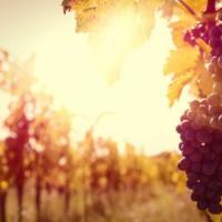 Adotta un filare: dalla vigna alla bottiglia, un modo poetico di scoprire il vino