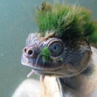 """Ecco la tartaruga con la """"cresta verde'' che rischia l'estinzione"""