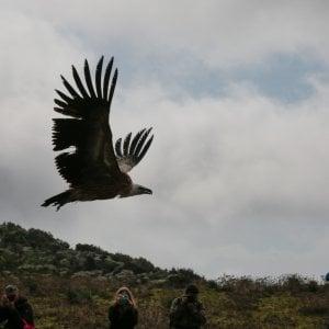 Grifoni spagnoli in Sardegna per salvare i nidi di Capo Caccia