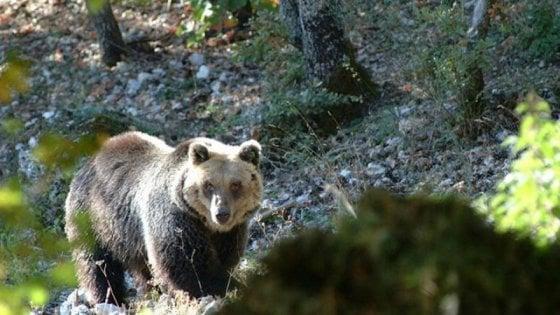 Abruzzo, orso muore nel parco dopo iniezione di anestetico