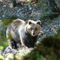 Parco nazionale d'Abruzzo, l'orso marsicano era malato: non è stata l'anestesia