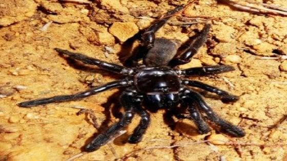 Australia, muore a 43 anni il ragno più vecchio del mondo: ucciso dalla puntura di una vespa