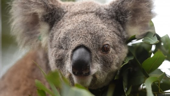Australia, koala in pericolo: lo Stato stanzia 30milioni per salvarli