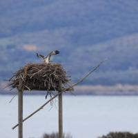 Nell'oasi di Orbetello nati piccoli di falco pescatore