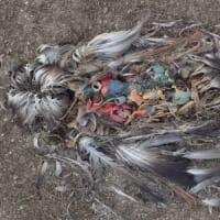 Albatros uccisi dalla plastica: le immagini del disastro ambientale