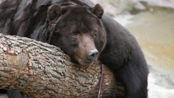 Quanti guai per gli orsi che non dormono più