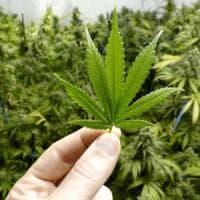 Cannabis come possibile farmaco? Per gli esperti servono altri studi