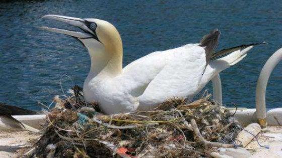 Anche il nido d'amore delle sule ormai è di plastica