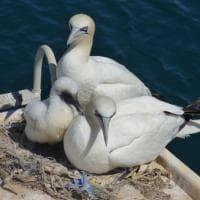 Portovenere: i nidi di plastica delle sule
