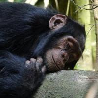 Ecco perché il letto dello scimpanzé è più pulito del nostro