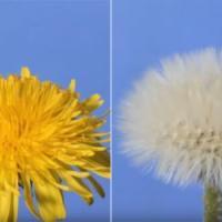 Il soffione svelato da un timelapse: così la Rete riscopre la natura
