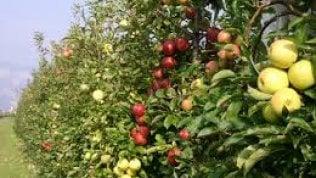 Pesticidi, siamo alla frutta: il lato oscuro della melicoltura