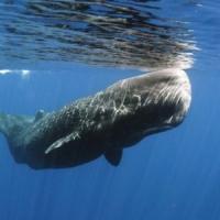 Balene e capodogli in un mare di plastica: nel Mediterraneo uno su tre ucciso