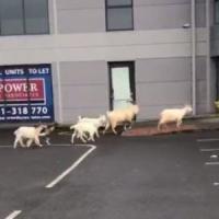 """Nella verde Irlanda una città nel panico per """"l'invasione"""" di capre selvatiche"""