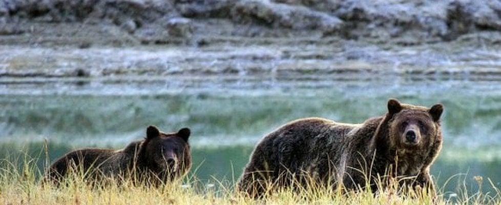"""""""Sparate all'orso Yoghi"""": il Wyoming autorizza l'uccisione di 22 grizzly"""