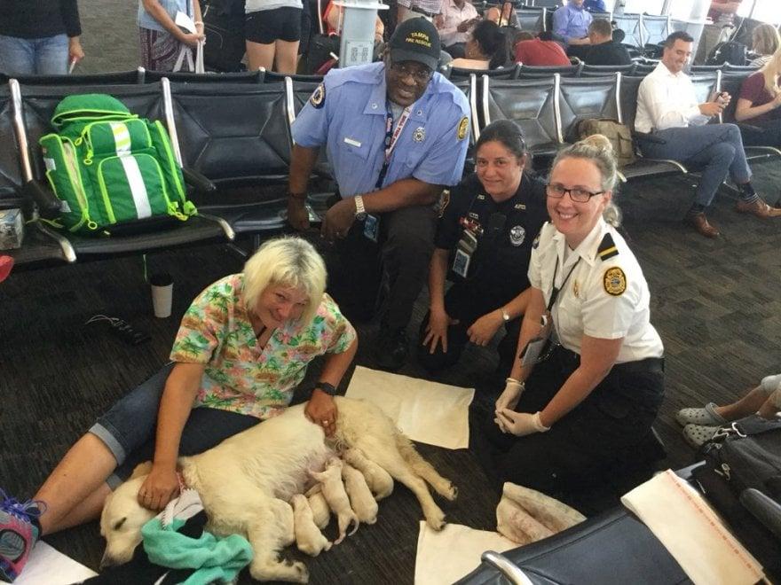 Florida Il Parto In Aeroporto Di Mamma Labrador Dà Alla Luce 8