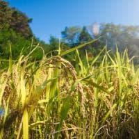 Il riso sarà sempre meno nutriente. Tutta colpa dell'inquinamento
