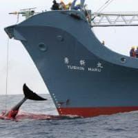 Oltre cento balene incinte uccise dai cacciatori giapponesi