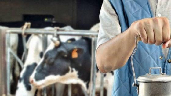 La verità, vi prego, sul latte di mucca (al di là dei luoghi comuni)