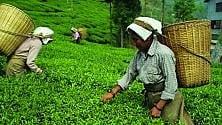 Povertà e clima, sotto scacco la produzione  di tè e caffè