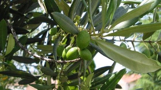 Il clima sposta la coltivazione degli olivi a Nord, si va verso 45/o parallelo