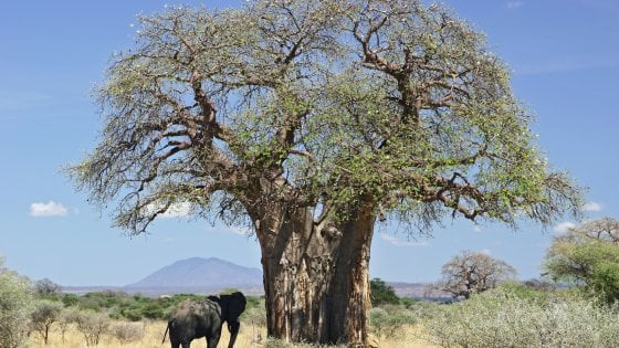 Africa, i baobab stanno scomparendo: gli alberi millenari minacciati dal clima