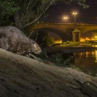 Mammiferi di notte: dal cinghiale al tasso