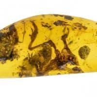 Nell'ambra i resti di una rana, la più antica della foresta tropicale