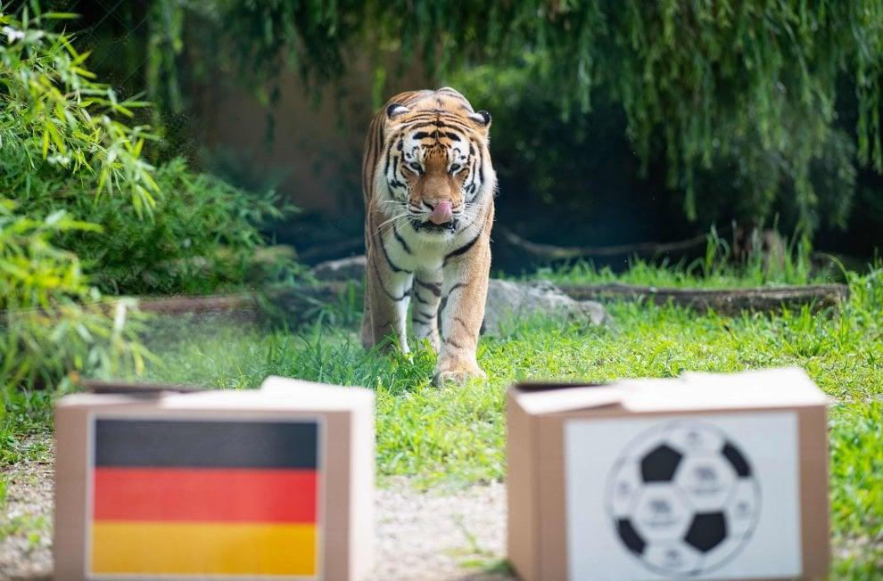 Germania-Messico: secondo la tigre Fedor vincono i tedeschi