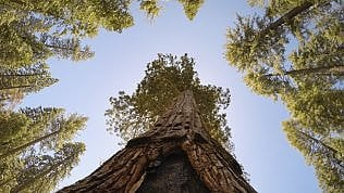 Le sequoie del Mariposa Grove