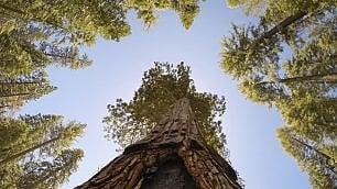Riapre il bosco delle sequoie