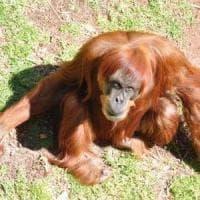 E' morta Puan, il più anziano orango di Sumatra