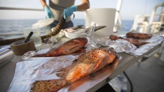 """Greenpeace: """"Microplastiche in un quarto di pesci e invertebrati"""""""