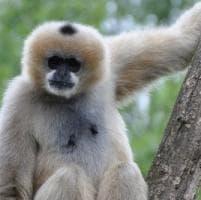 Una nuova specie di gibbone 'imperiale', ma è già estinto