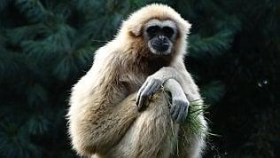 Gibbone imperiale, nuova specie:peccato che sia già estinta