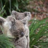 Mappato il genoma dei koala, nuove speranze per proteggere la specie