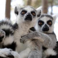 I lemuri fiutano la debolezza dei rivali. E ne approfittano per riprodursi